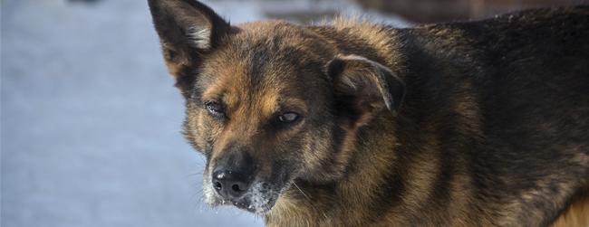 Canine2